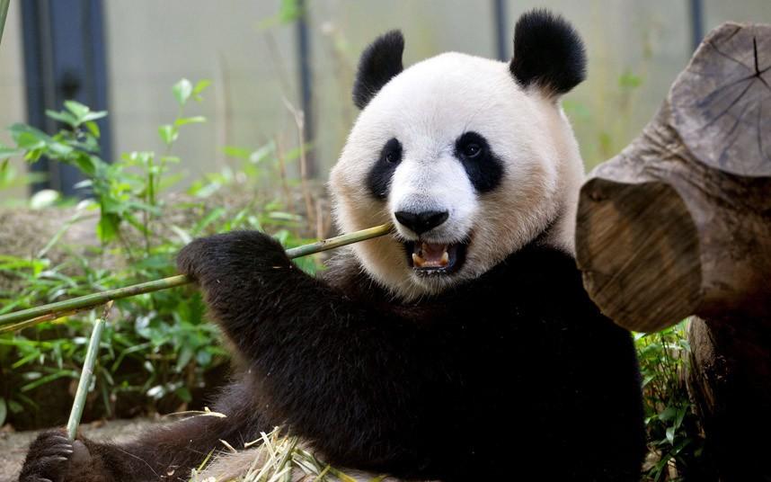 potd-panda_2574514k